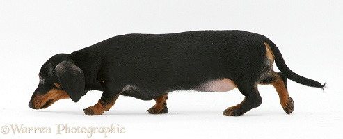 Black-and-tan Dachshund following a scent