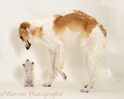 Borzoi dog meeting Westie