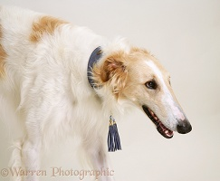 Portrait of Borzoi dog