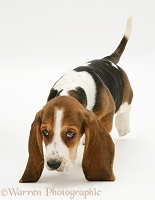 Basset Hound pup following a scent