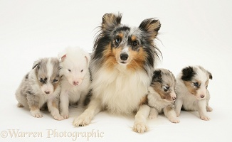 Shetland Sheepdog with pups