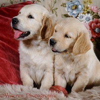 Golden Retriever puppies, 6 weeks old