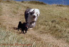 Black Pug with Old English Sheepdog