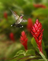 Long-billed Starthroat Hummingbird