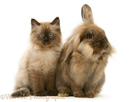 Chocolate kitten and Lionhead rabbit