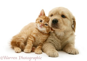 Ginger kitten nuzzling Golden Retriever pup