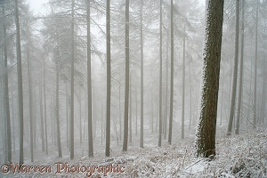 Larches with snow and mist