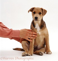 Lakeland Terrier x Border Collie pup with owner's hands