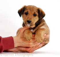 Lakeland Terrier x Border Collie pup in owner's hands