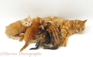 Ginger cat suckling her four kittens