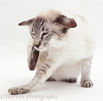 Tabby-point Siamese cat scratching his ear