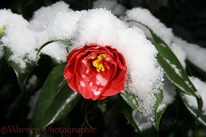 Red Camellia flower with snow