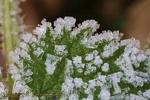 Frost crystals on a nettle leaf