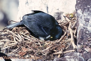 Shag turning egg in nest