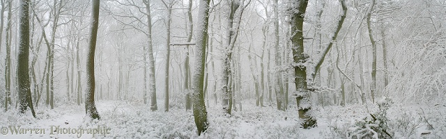 Oak woodland with snow