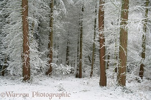 Coniferous forest with snow