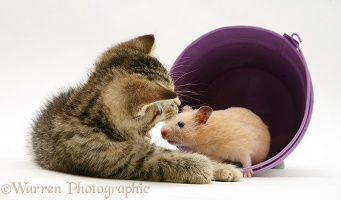 Kitten playing with hamster in a toy bucket