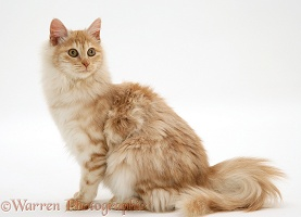 Red silver Turkish Angora cat