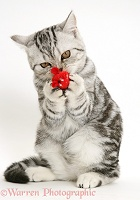 Silver tabby cat clutching a toy mouse