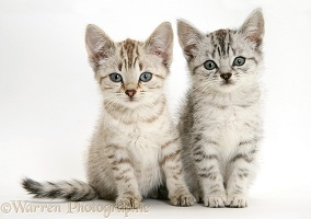 Silver tabby Bengal-cross kittens