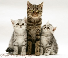Brown tabby cat with silver tabby kittens