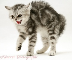 Frightened silver tabby kitten