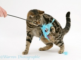 Tabby cat playing with a feather duster