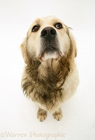 Golden Retriever after rolling in poo
