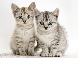 Sepia tabby and silver tabby Bengal-cross kittens