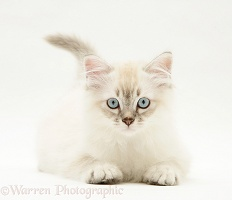 Sepia tabby-point Birman-cross kitten