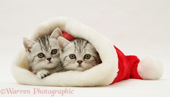 Pair of silver tabby kittens in a Santa hat