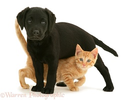 Black Labrador puppy and ginger kitten
