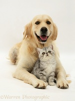 Golden Retriever with silver Exotic kitten