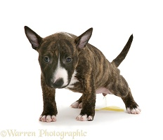 English Bull Terrier pup urinating
