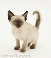 Siamese-cross kitten