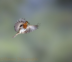 European Robin in flight