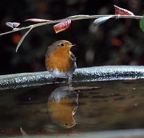 European Robin about to have a bathe