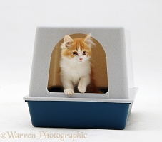 Ginger-and-white kitten coming out of his igloo litter tray