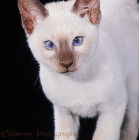 Chocolate-point Siamese kitten, 11 weeks old