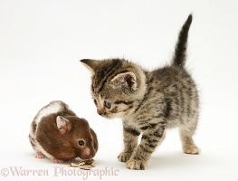 Tabby Kitten watching a hamster fill its pouches