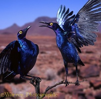 Purple Glossy Starlings
