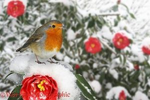 European Robin on snowy red Camellia