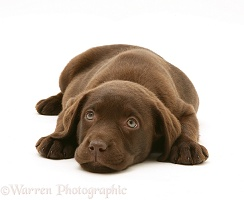 Chocolate Labrador Retriever puppy chin on floor