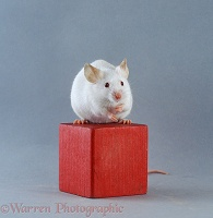 Mouse on a wooden brick