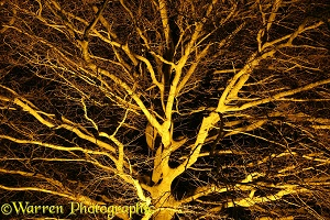 Floodlit beech tree
