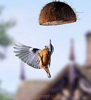 Nuthatch in flight