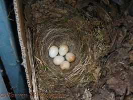 European Robin nest with eggs