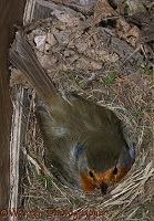 European Robin on nest