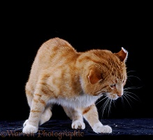 Ginger cat shaking his head