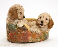 American Cockapoo puppies in a soft basket